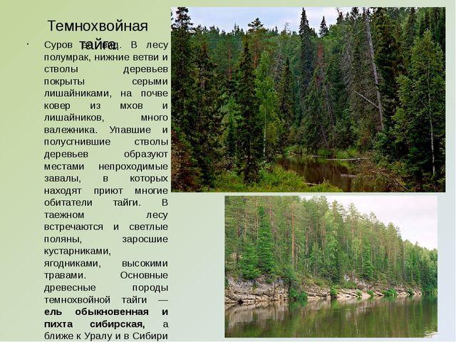 Темнохвойная тайга Суров ее вид. В лесу полумрак, нижние ветви и стволы дерев...