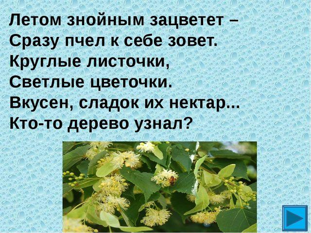 Летом знойным зацветет – Сразу пчел к себе зовет. Круглые листочки, Светлые ц...