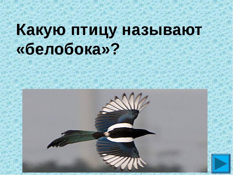 Какую птицу называют «белобока»? ?