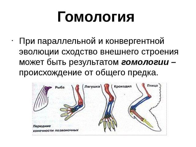 Гомология При параллельной и конвергентной эволюции сходство внешнего строени...