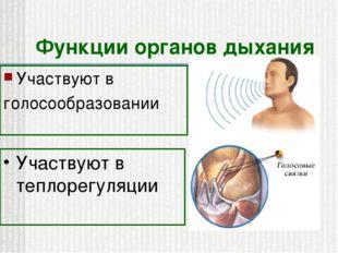 Функции органов дыхания Участвуют в голосообразовании Участвуют в теплорегуля