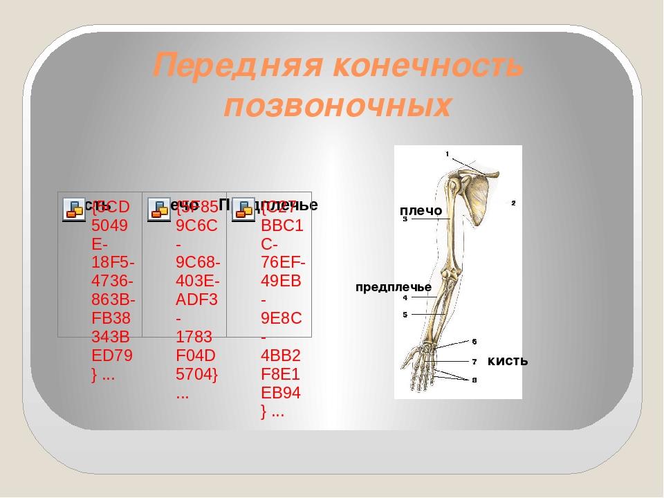 Передняя конечность позвоночных плечо предплечье кисть
