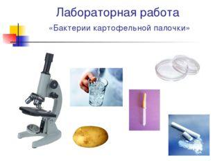 Лабораторная работа «Бактерии картофельной палочки»