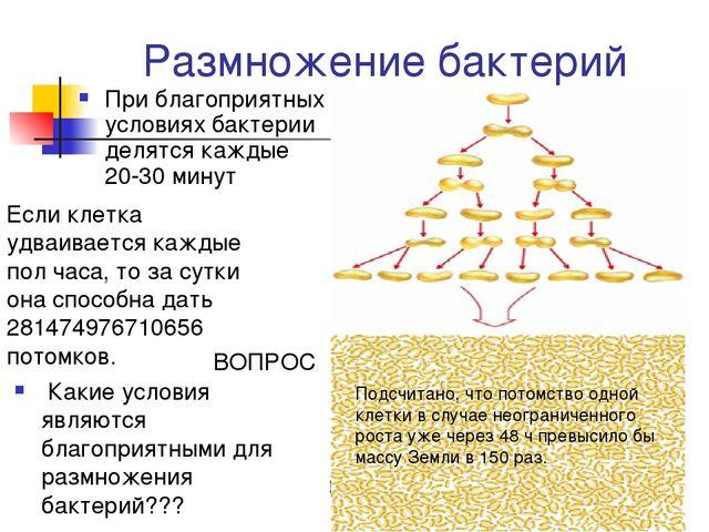 Размножение бактерий При благоприятных условиях бактерии делятся каждые 20-30...