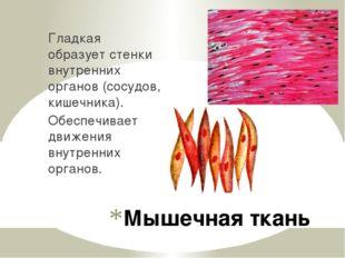 Мышечная ткань Гладкая образует стенки внутренних органов (сосудов, кишечника