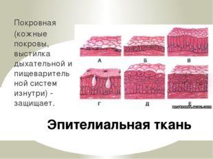 Эпителиальная ткань Покровная (кожные покровы, выстилка дыхательной и пищевар
