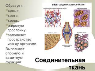 Соединительная ткань Образует: хрящи, кости, кровь, жировую прослойку, заполн