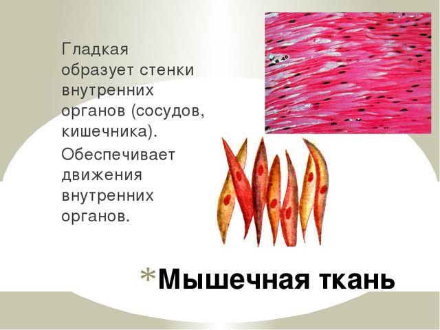 Мышечная ткань Гладкая образует стенки внутренних органов (сосудов, кишечника...