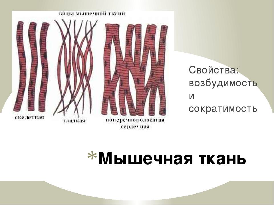 Мышечная ткань Свойства: возбудимость и сократимость