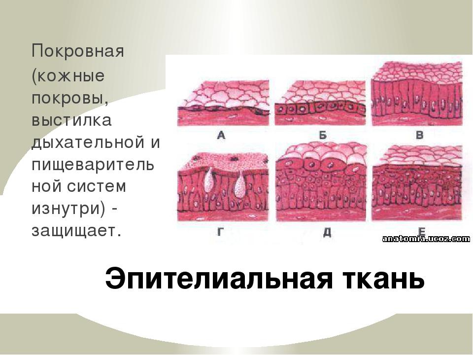 Эпителиальная ткань Покровная (кожные покровы, выстилка дыхательной и пищевар...