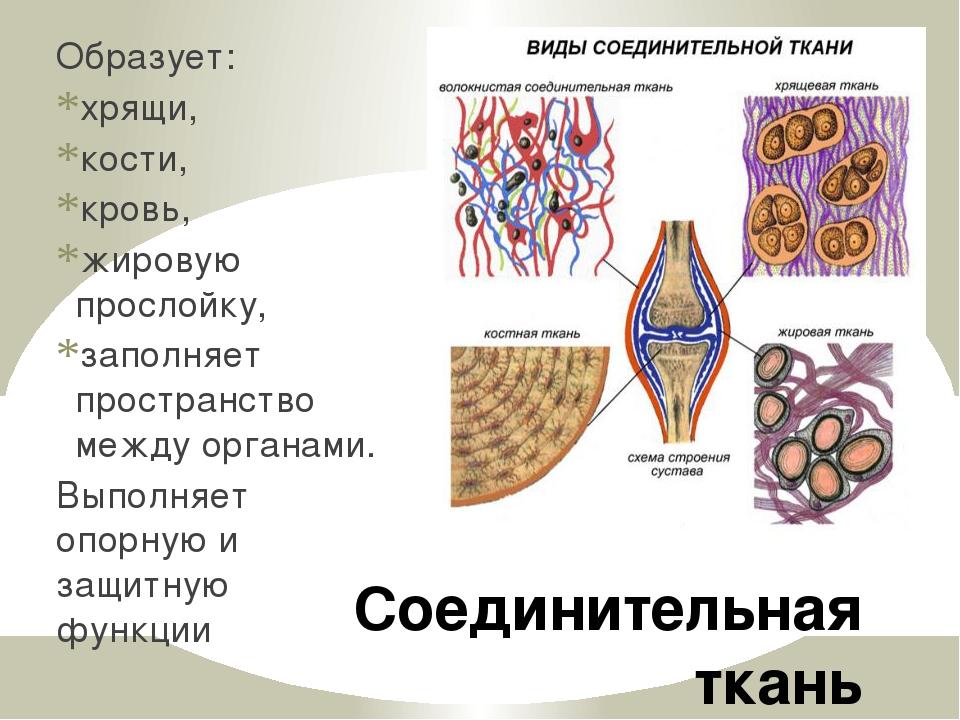 Соединительная ткань Образует: хрящи, кости, кровь, жировую прослойку, заполн...