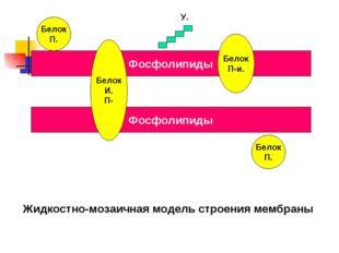 Фосфолипиды Фосфолипиды Белок П. Белок П. Белок П-и. Белок И. П- У. Жидкостно