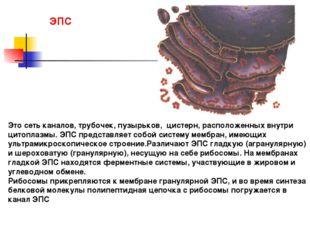 Это сеть каналов, трубочек, пузырьков, цистерн, расположенных внутри цитоплаз