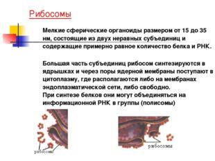Рибосомы Мелкие сферические органоиды размером от 15 до 35 нм, состоящие из