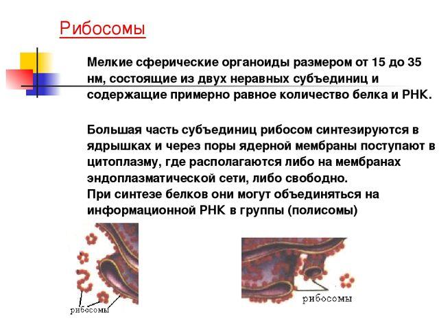 Рибосомы Мелкие сферические органоиды размером от 15 до 35 нм, состоящие из...