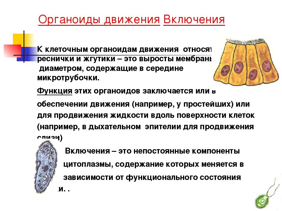 Органоиды движения Включения К клеточным органоидам движения относят реснич...