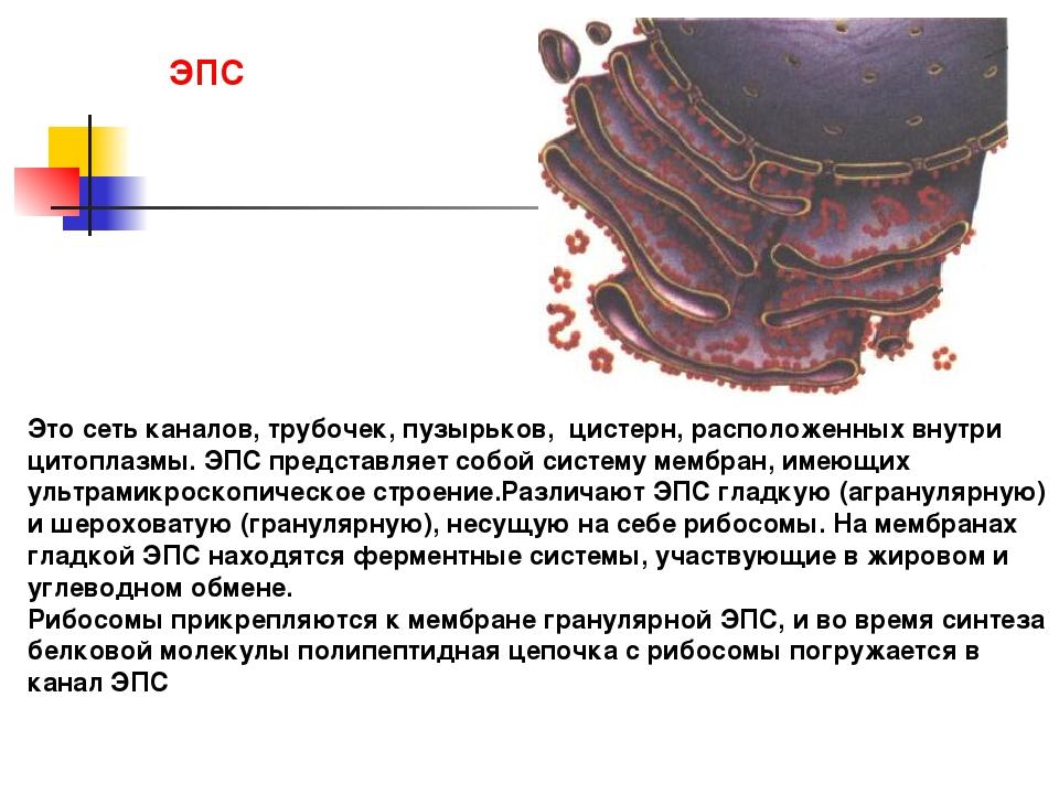 Это сеть каналов, трубочек, пузырьков, цистерн, расположенных внутри цитоплаз...