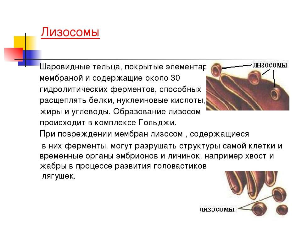 Лизосомы Шаровидные тельца, покрытые элементарной мембраной и содержащие ок...