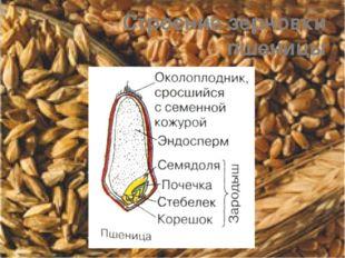 Строение зерновки пшеницы