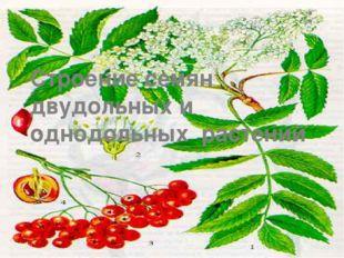 : Строение семян двудольных и однодольных растений