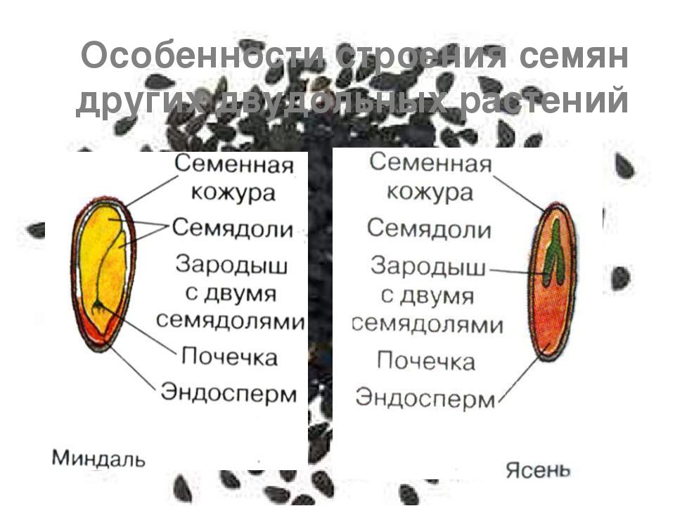 Особенности строения семян других двудольных растений