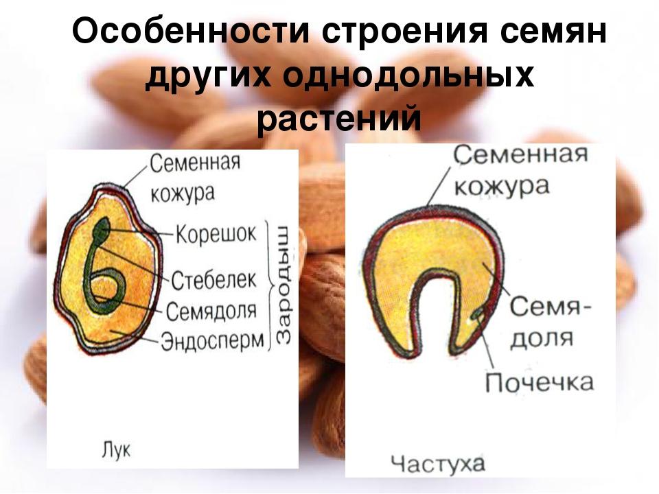 Особенности строения семян других однодольных растений