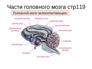 Части головного мозга стр119