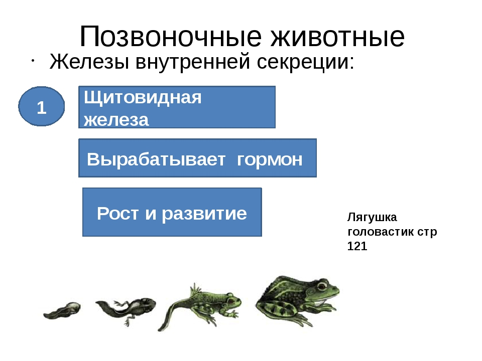 Позвоночные животные Железы внутренней секреции: Щитовидная железа Вырабатыва...