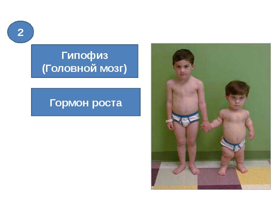 Гипофиз (Головной мозг) Гормон роста 2