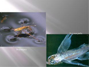 Водомерка Летучая рыба