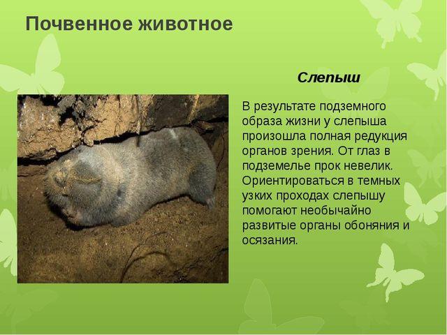 Почвенное животное В результате подземного образа жизни у слепыша произошла п...