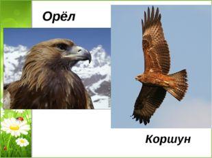 Орёл Коршун