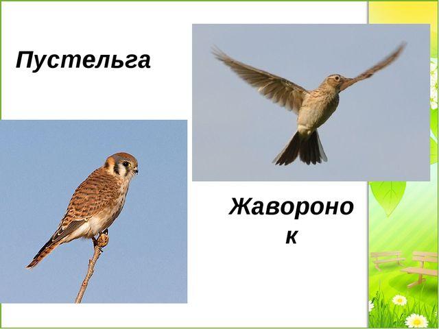 Пустельга Жаворонок