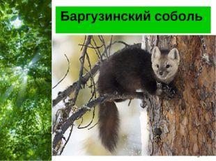 Баргузинский соболь Free Powerpoint Templates Page *