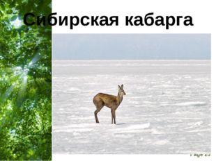 Сибирская кабарга Free Powerpoint Templates Page *