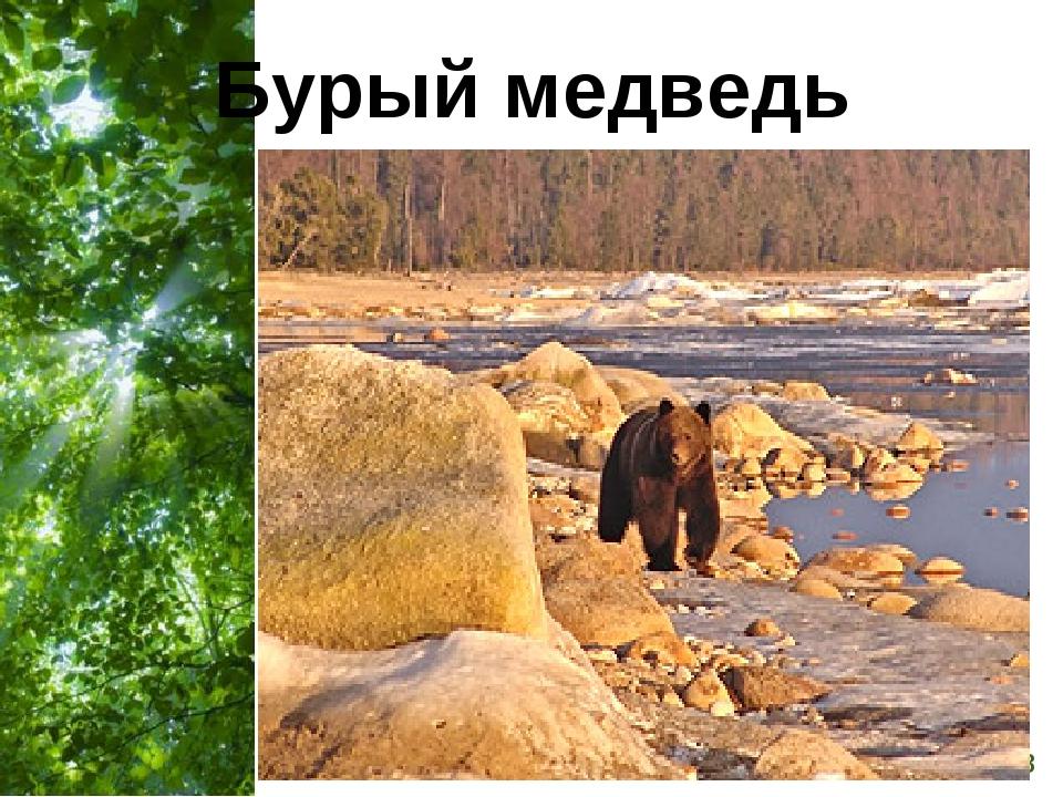 Бурый медведь Free Powerpoint Templates Page *