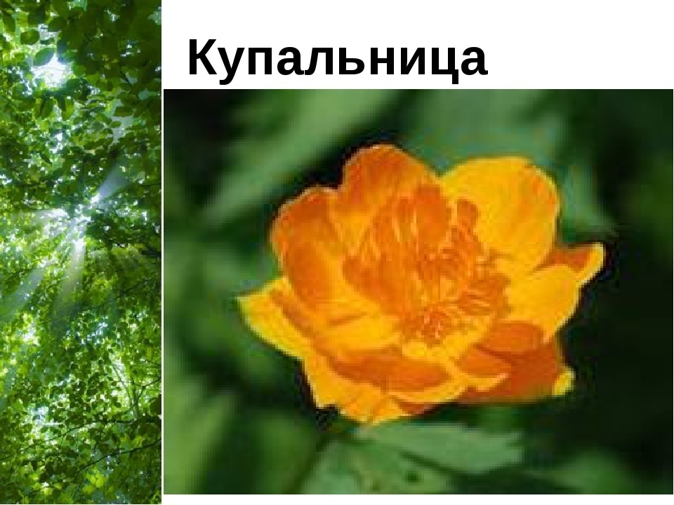 Купальница Free Powerpoint Templates Page *