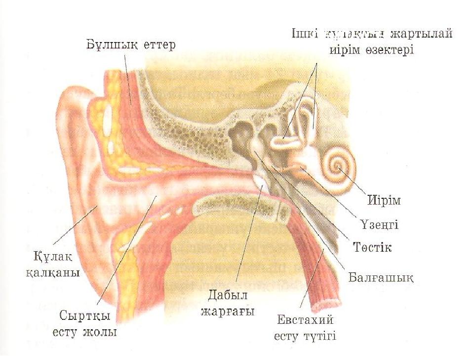 Есту мүшесінің ішкі құрылысы.