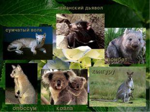 опоссум кенгуру сумчатый волк таманский дьявол вомбат коала