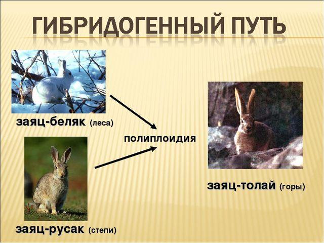 заяц-беляк (леса) заяц-русак (степи) заяц-толай (горы) полиплоидия