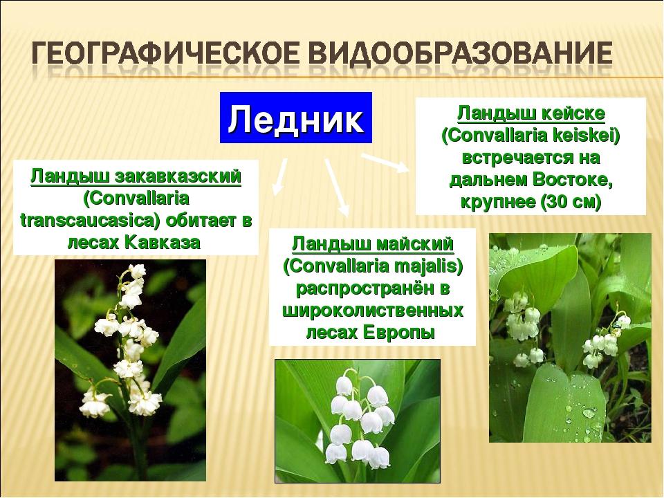 Ландыш майский (Convallaria majalis) распространён в широколиственных лесах Е...