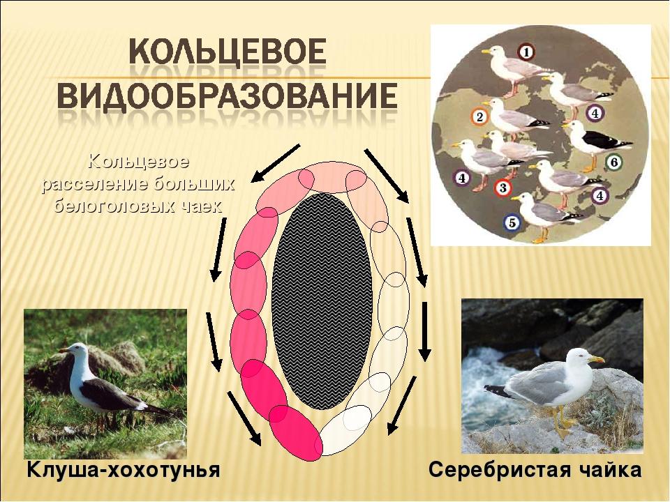 Кольцевое расселение больших белоголовых чаек Клуша-хохотунья Серебристая чайка