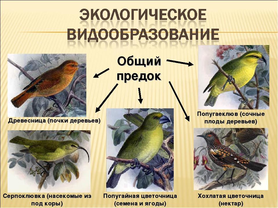 Попугайная цветочница (семена и ягоды) Древесница (почки деревьев) Серпоклювк...
