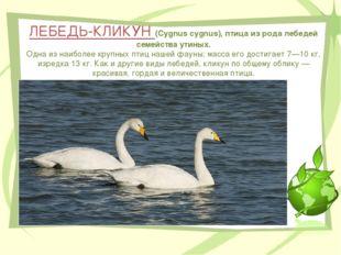 ЛЕБЕДЬ-КЛИКУН (Cygnus cygnus), птица из рода лебедей семейства утиных. Одна и