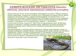 СЕМИРЕЧЕНСКИЙ ЛЯГУШКОЗУБ (Ranodon sibiricus), хвостатое земноводное семейства