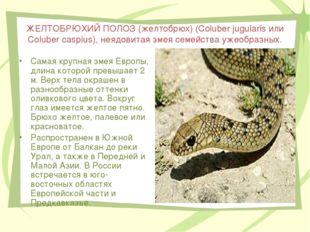 ЖЕЛТОБРЮХИЙ ПОЛОЗ (желтобрюх) (Coluber jugularis или Coluber caspius), неядов
