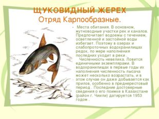 ЩУКОВИДНЫЙ ЖЕРЕХ Отряд Карпообразные. Места обитания. В основном, мутноводные