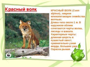 Красный волк КРАСНЫЙ ВОЛК (Сuon alpinus), хищное млекопитающее семейства волч