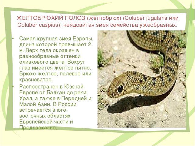 ЖЕЛТОБРЮХИЙ ПОЛОЗ (желтобрюх) (Coluber jugularis или Coluber caspius), неядов...