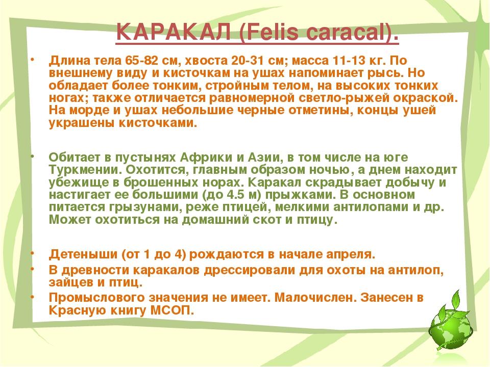 КАРАКАЛ (Felis caracal). Длина тела 65-82 см, хвоста 20-31 см; масса 11-13 кг...
